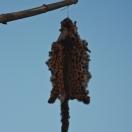 Шкура леопарда над крышей дома отпугивает злых духов