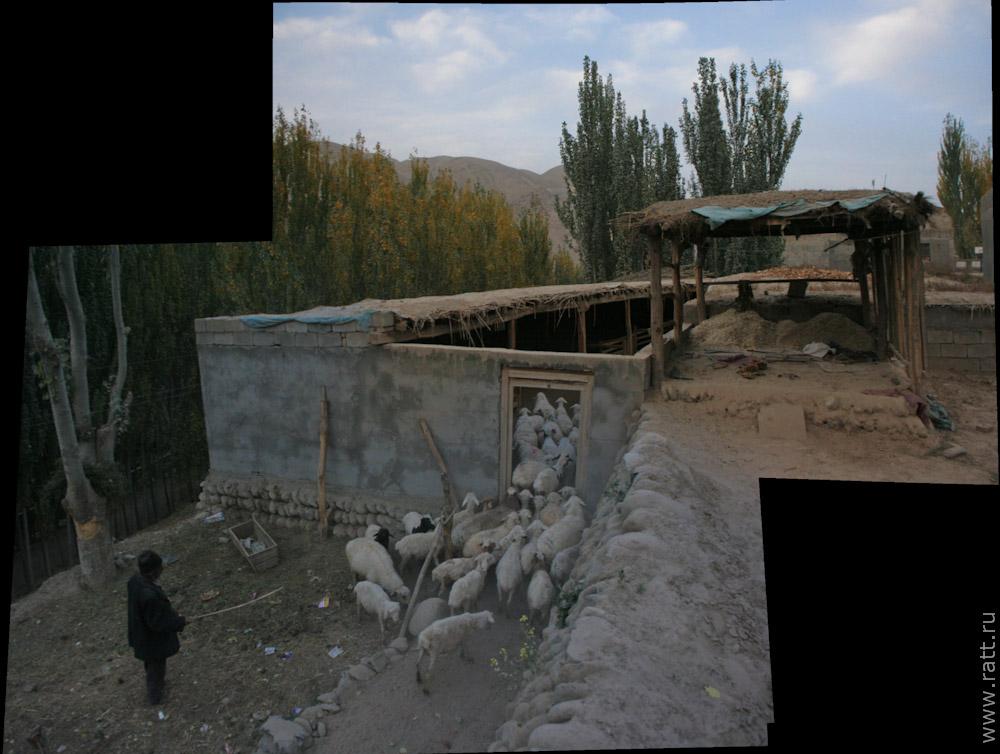 Уйгурский пастух и его отара