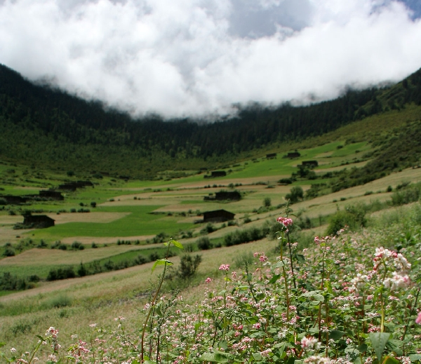 Цветущие поля гречихи на крутом склоне