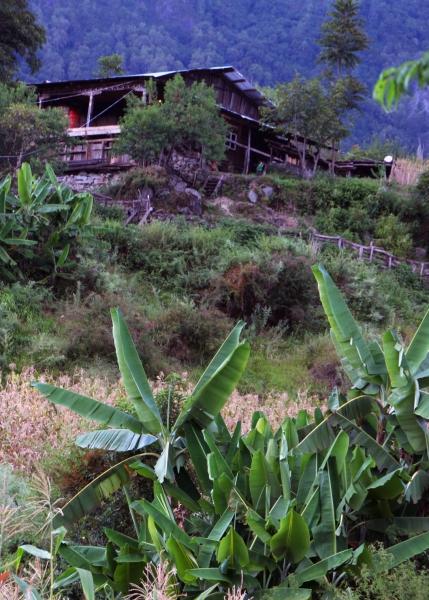 Биоразнообразие Пемако: плантация банановых деревьев