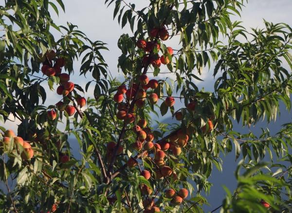 И обильно плодоносящие персиковые деревья. Местные жители не успевают съедать столько персиков, большая их часть отправляется на корм для скота.