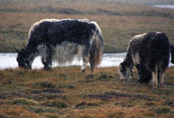 Снег засыпает равнину и яков