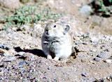 Высокогорная мышь
